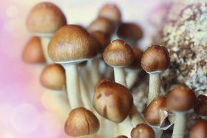 Des champignons hallucinogènes pour combattre la dépression ?