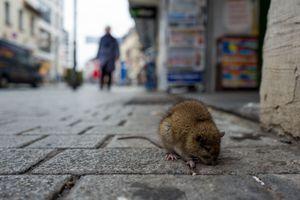 Une nouvelle maladie du foie transmise par les rats interrogent les scientifiques
