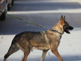 Des chiens renifleurs pour dépister le coronavirus