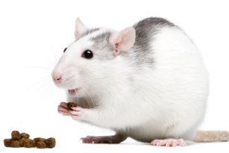 Alimentation et soins d'un rat domestique