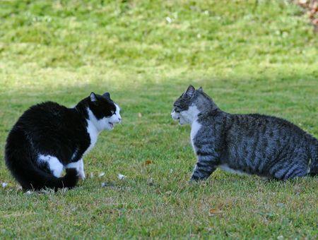 Tout ce qu'il faut savoir sur le comportement sexuel du chat : chaleurs, bagarre...