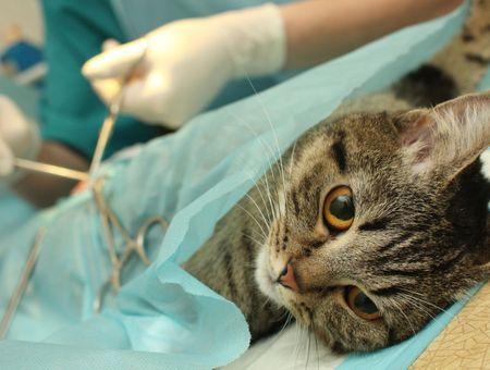 Faire stériliser mon chat : pourquoi et comment ?