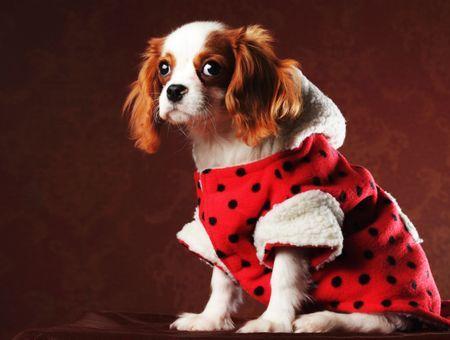 Vêtements pour les chiens : ce qu'il faut savoir