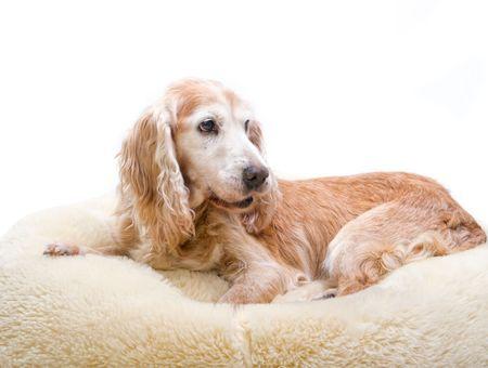 L'ehrlichiose du chien