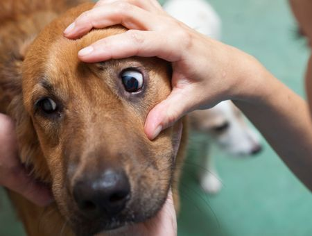 Prendre soin des yeux du chien