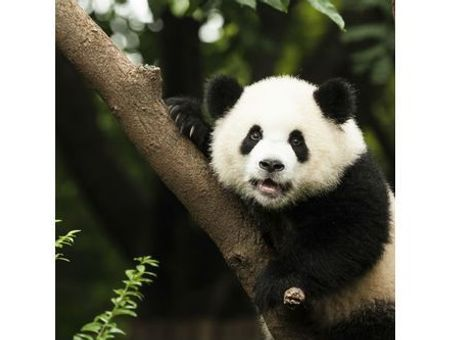 10 vidéos de pandas rigolos et trop mignons !