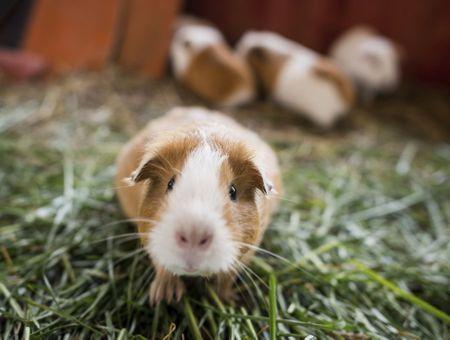 La reproduction et l'élevage de cochons d'Inde