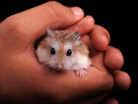 Contention et transport du hamster: attention aux morsures!