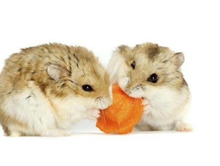 Les principales races de hamster
