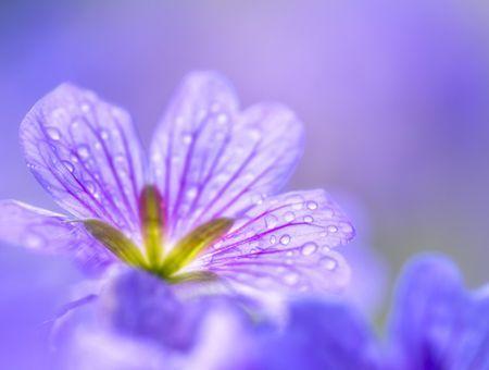 L'eau florale de géranium, pour les peaux grasses
