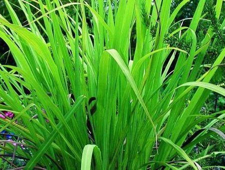 Huile essentielle de palmarosa : bienfaits et utilisations