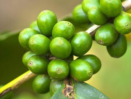 Coffea cruda