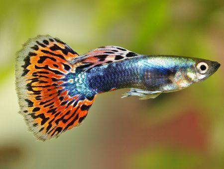 La pollution sonore fragilise la santé des poissons