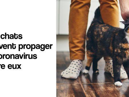 Les chats peuvent propager le coronavirus entre eux