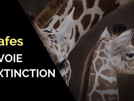 Les girafes bientôt en voie d'extinction