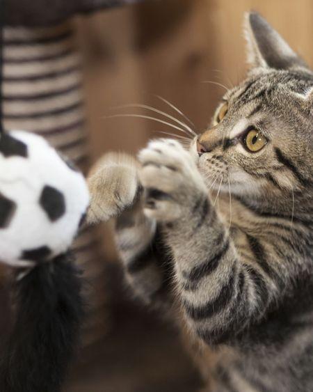 Joujoux pour les chats : lesquels choisir ? Comment en fabriquer soi-même ?