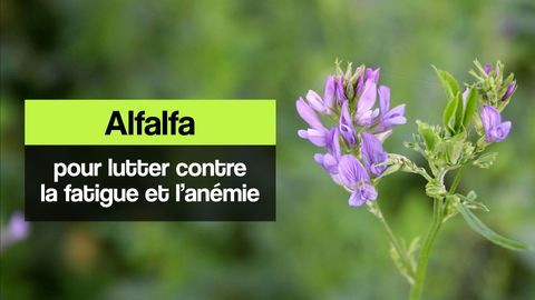 alfalfa fatigue