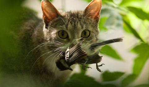 chat rapporte des proies