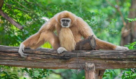 Selon l'étude, plusieurs espèces de primates seraient gravement menacées par le SARS CoV-2, telles que le gorille des plaines de l'Ouest, l'orang-outan de Sumatra et le gibbon à joues blanches du Nord.