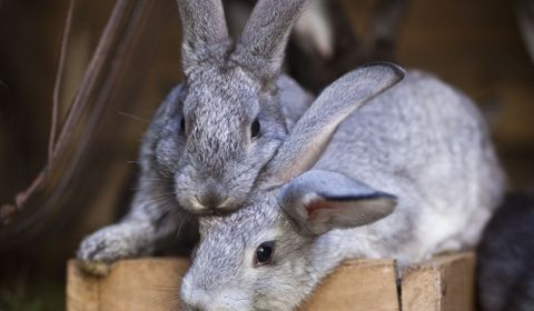 L'essentiel sur le lapin