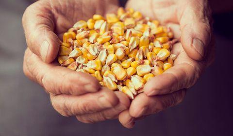 Une centaine d'OGM autorisés en France, notamment dans l'alimentation