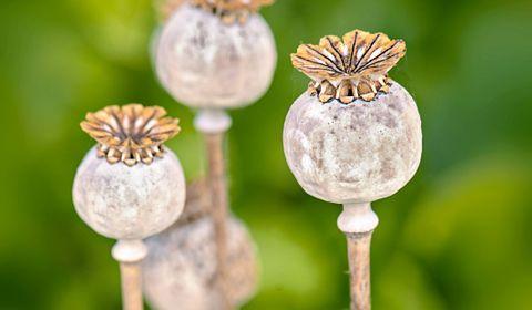 L'opium : c'est quoi ? Dans quels médicaments ? Quels dangers ?