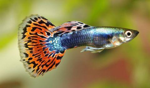 Des poissons exposés à une pollution sonore aiguë sont plus vulnérables aux maladies et meurent plus vite quand l'exposition est chronique