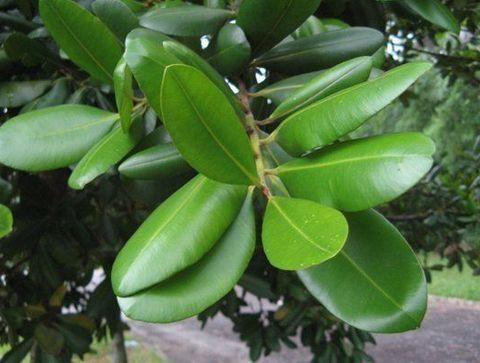 Le caoutchouc - Les plantes dépolluantes
