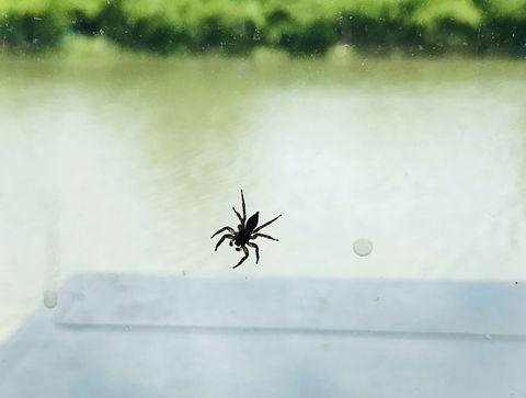 Piqûre d'araignée : son venin n'est pas un allergène