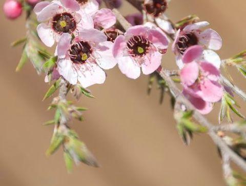 De l'huile essentielle de tea tree - 10 traitements naturels efficaces contre l'acné