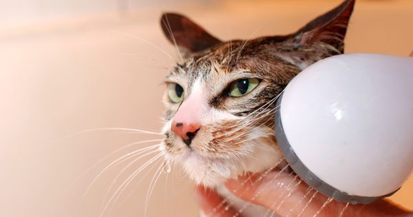 Comment toiletter son chat ? - Doctissimo
