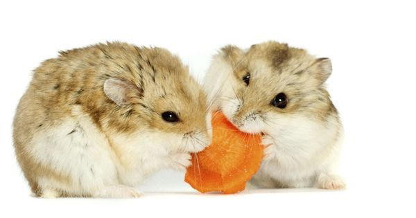 Les Principales Races De Hamster Doctissimo