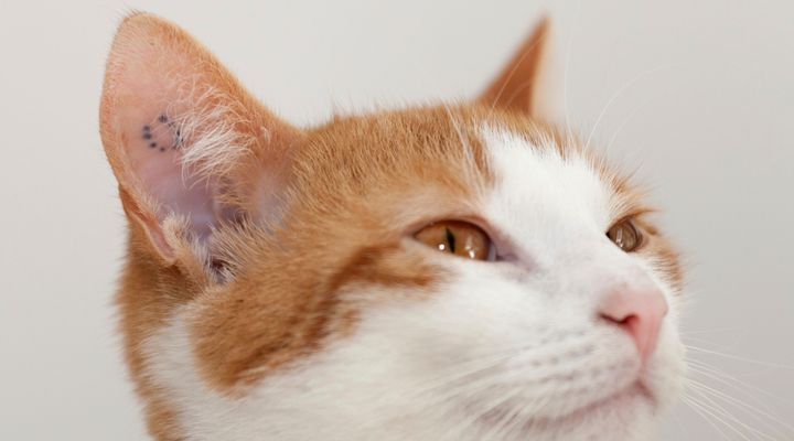 tatouage pour chat