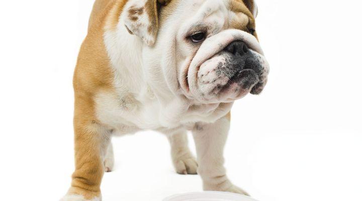 chien boude sa gamelle
