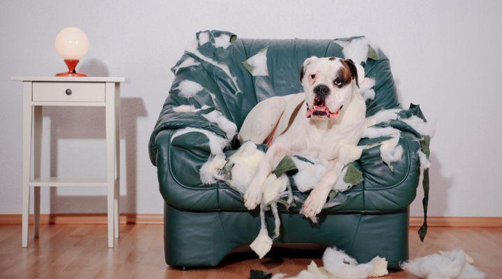 chien détruit tout