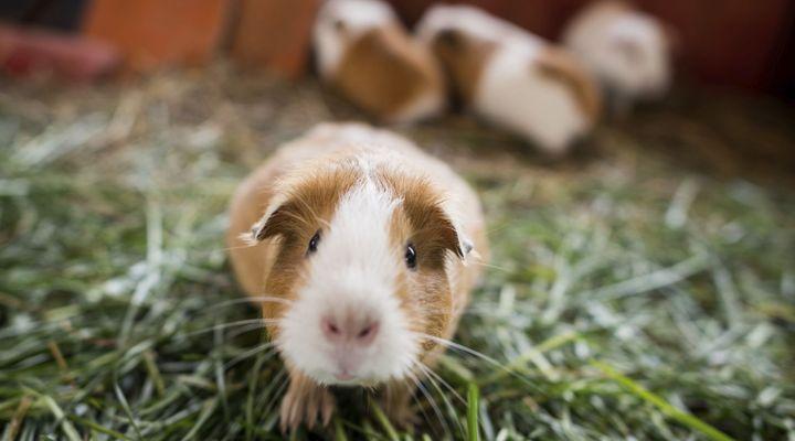 reproduction et élevage de cochons d'inde