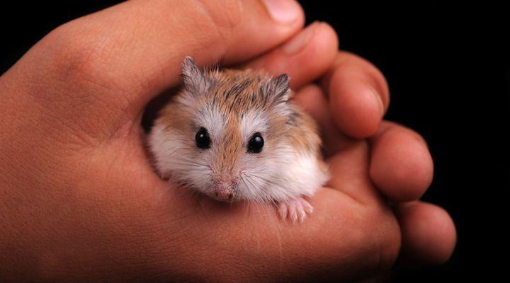 Contention du hamster
