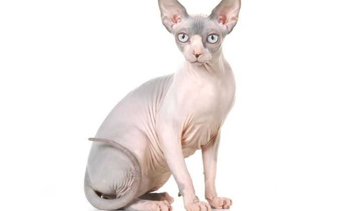 Chat Sphynx Doctissimo