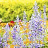 Eau florale de sauge