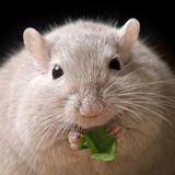 La flore intestinale impliquée dans la perte de poids ?