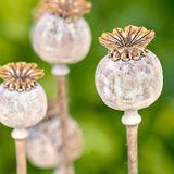 Opium : c'est quoi ? Dans quels médicaments ? Quels risques ?
