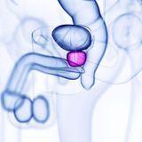 Prostate : schéma, définition, son rôle chez l'homme