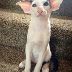 Chat moche qui ressemble à Dobby